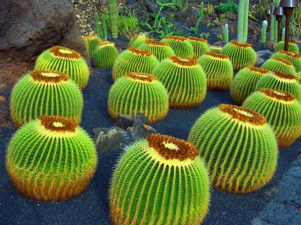 Cactus Gardens in Lanzarote